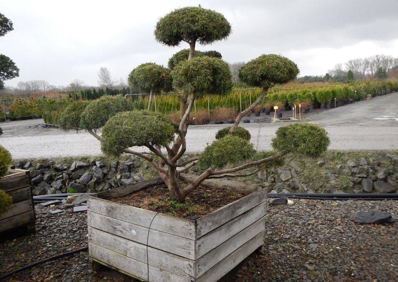Pinus mugo mughus Bonsai