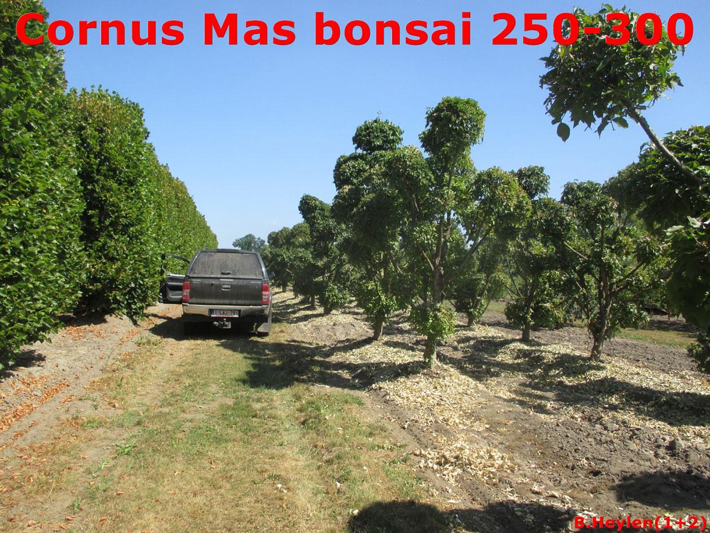 Cornus Mas bonsai